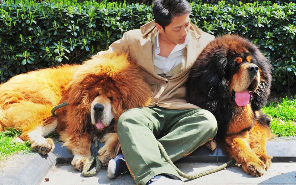 3daf110d5f5c Κουτάβι μάστιφ του Θιβέτ επωλήθη 1