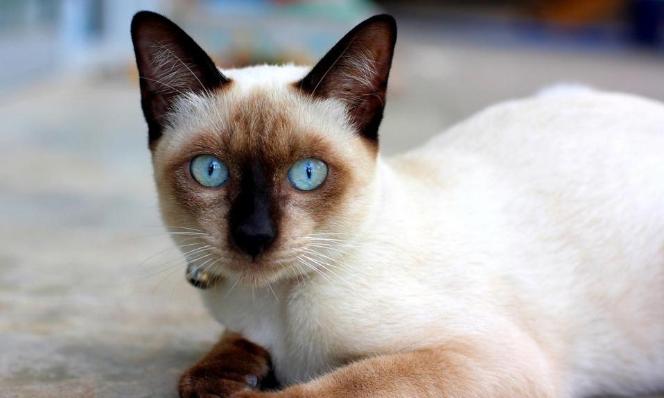 cd3ad136179c 2 · blue-eyed-cats-11. ΕΤΙΚΕΤΕΣ  Θα ελιχθούν με χάρη στην πασαρέλα  δείχνοντας με νάζι το όμορφο κορμί τους και ...