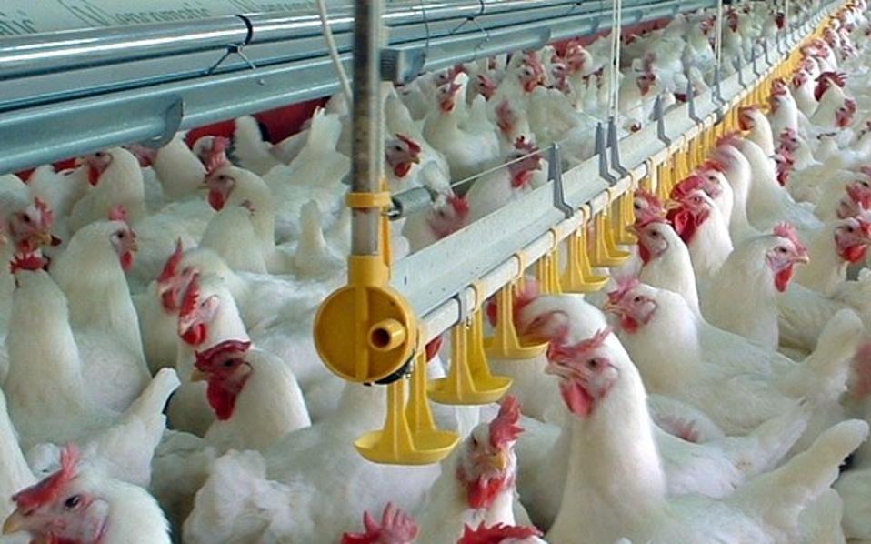 chicken_ptinotrofeio_1