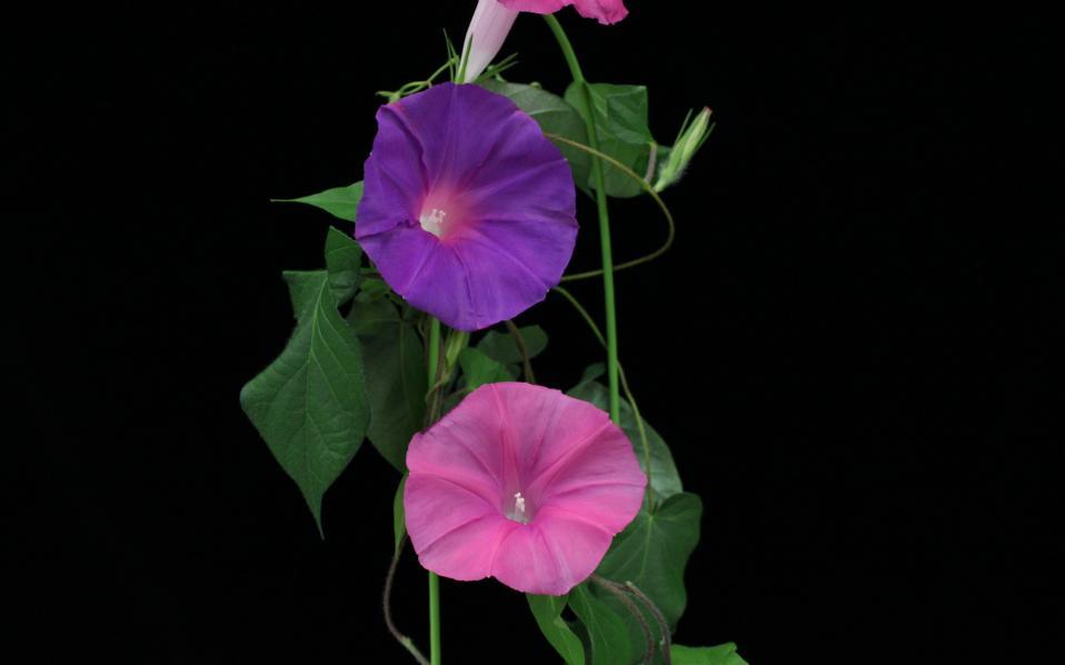 Νέα έρευνα καθιστά δυνατή την παράταση της ζωής των λουλουδιών