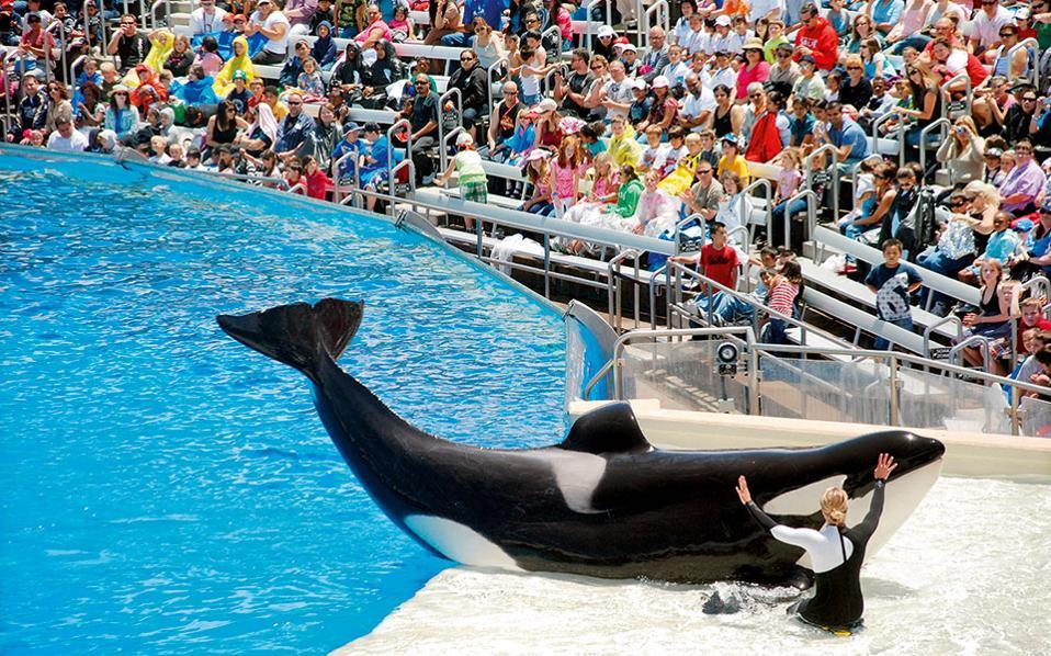ο Τιλικουμ, με βάρος 5 τόνους και μήκος 7 μέτρα, είναι η μεγαλύτερη φάλαινα-δολοφόνος σε αιχμαλωσία.