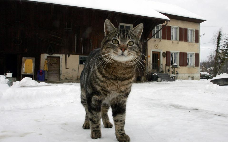 Oι οικόσιτες γάτες έχουν εξαιρετικές κυνηγετικές ικανότητες, όπως και οι άγριοι πρόγονοί τους, υποστηρίζοντας έτσι την ιδέα ότι οι γάτες είναι ημι-εξημερωμένες.