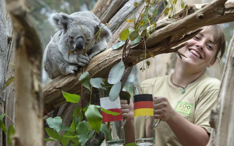 Mάντης. Η Γερμανία θα κερδίσει!!! Έτσι αποφάσισε το κοάλα Oobi-Ooobi καθώς επέλεξε το κλαδί με τον ευκάλυπτο από το ποτήρι με την σημαία της χώρας. Το πρωτότυπο μαντείο στήθηκε στον ζωολογικό κήπο της Λειψίας, και ο επίμαχος αγώνας μεταξύ Γερμανίας και Πολωνίας θα διεξαχθεί αύριο.  (AP Photo/Jens Meyer)