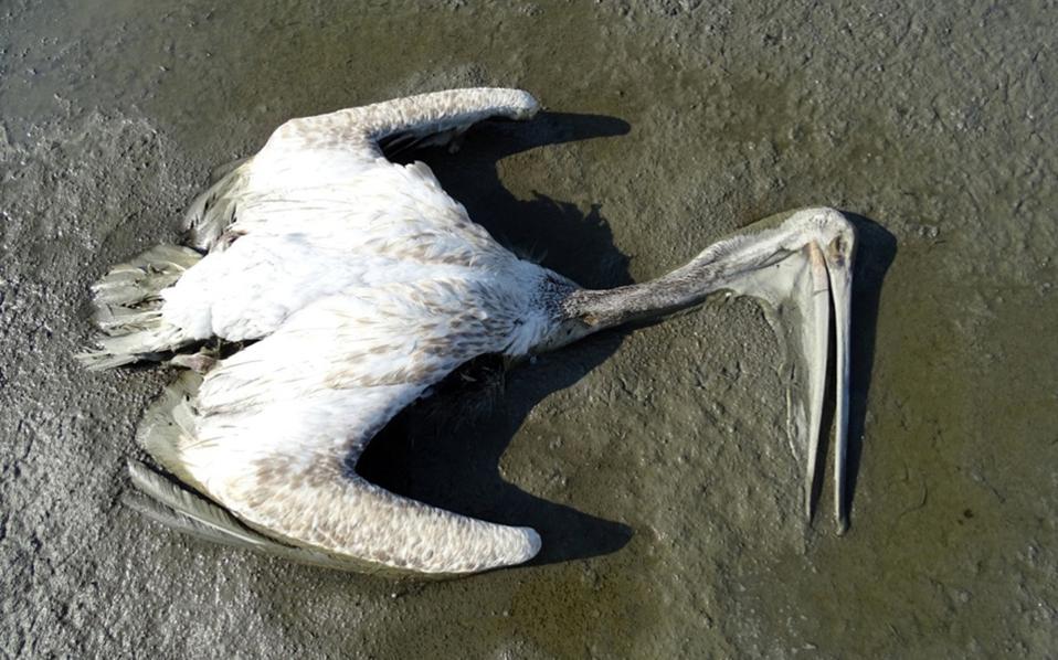 Οι αναλύσεις της Ορνιθολογικής Εταιρείας έδειξαν ότι τα πουλιά «δηλητηριάστηκαν» από τις κακές βιολογικές συνθήκες που επικρατούν στη λίμνη. Ο φορέας διαχείρισης της λίμνης καταγγέλλει ότι δεν ενημερώθηκε άμεσα.