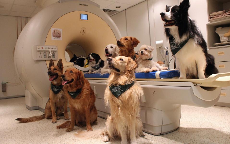 Τα σκυλιά μας μιλάνε! Όλα τα υπέροχα «πειραματόζωα» που συμμετείχαν στην έρευνα που έκανε το Πανεπιστήμιο Eotvos Lorand της Βουδαπέστης, ποζάρουν μπροστά από τον Μαγνητικό Τομογράφο. Σύμφωνα με την μελέτη που δημοσιεύεται στην Επιθεώρηση  Science, τα σκυλιά επεξεργάζονται τις λέξεις με το αριστερό ημισφαίριο του εγκεφάλου και με το δεξί τον τονισμό, έτσι όπως κάνει και ο ανθρώπινος εγκέφαλος. (Eniko Kubinyi/Eotvos Lorand University via AP)