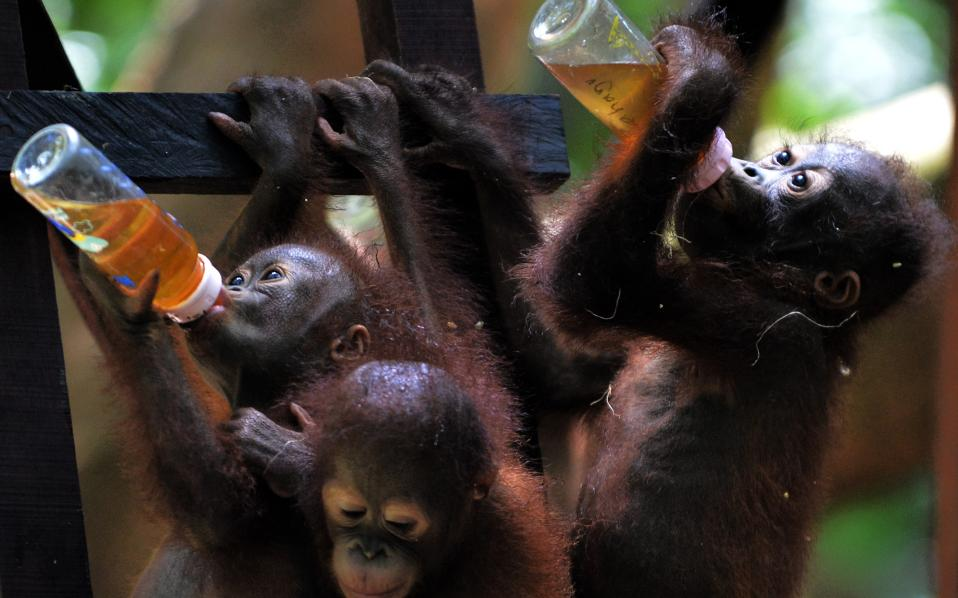 Θα μεθύσουμε. Διάλυμα για φαγητό κάνουν τα ορφανά του Διεθνούς Κέντρου για την Διάσωση Ζώων στην πόλη  Ketapang της Ινδονησίας. Κάποια από τα μωρά έχουν βρεθεί περιπλανώμενα στις φυτείες του Βόρνεο, δηλητηριασμένα από τον καπνό καθώς πέρυσι οι τεράστιες φωτιές έκαψαν εκτάσεις από τροπικά δάση. Τώρα θα πρέπει να αποκτήσουν αυτοπεποίθηση μέσω του «σχολείου», για να μάθουν σύντομα να συντηρούν και να προστατεύουν τον εαυτό τους. / AFP / BAY ISMOYO /