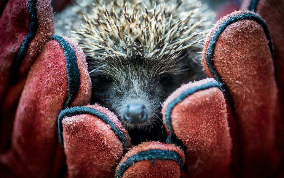 Στο καλό. Τις δυνάμεις τους ένωσαν ο Ζωολογικός κήπος Kecskemet αλλά και το Εθνικό πάρκο Kiskunsag στην Ουγγαρία για την νοσηλεία τραυματισμένων ζώων και την απελευθέρωσή τους μετά την ανάρρωσή του. Ένα από αυτά και ο σκατζόχοιρος της φωτογραφίας, που τρεμάμενος θα γυρίσει στην φύση.  EPA/SANDOR UJVARI