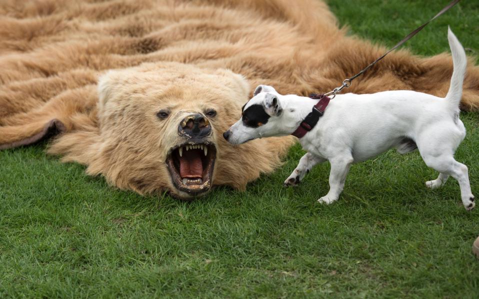 Εκ του ασφαλούς. Ενώ σε οποιαδήποτε άλλη περίπτωση θα είχε εξαφανιστεί πίσω από κάποιο δένδρο, στην εκδήλωση του «Partnership for Action Against Wildlife Crime», ο μικρόσωμος σκύλος βγήκε να επιθεωρήσει το δέρμα της νεκρής αρκούδας. Η εκδήλωση για την προστασία της άγριας ζωής έγινε στο Chatsworth House της Βόρειας Αγγλίας.  AFP / OLI SCARFF
