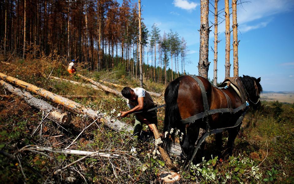 Πεύκο που επλήγη από το σκαθάρι απομακρύνει αυτός ο ξυλοκόπος στο χωριό Μπρέζνικ της Βουλγαρίας.