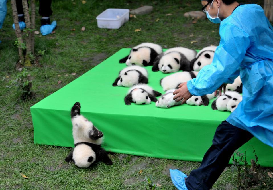 Το καημενούλι. Μεγάλη παρουσίαση για τους εκπροσώπους του τύπου έκανε το Κέντρο Έρευνας και Αναπαραγωγής Πάντα, στο Chengdu της Κίνας. Κάμερες κατέγραψαν τα 23 μωρά, ακόμα και αυτό που έπεσε. China Daily/via REUTERS