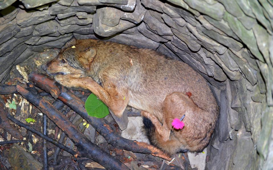 Τυχερός λύκος. Σε ένα βαθύ πέτρινο πηγάδι βρέθηκε για καλή του τύχη ο λύκος της φωτογραφίας από συνοριοφύλακες, κοντά στο Arlamow της Νοτιο -Ανατολικής Πολωνίας. Το ταλαιπωρημένο ζώο, ναρκώθηκε και μετά από ολόκληρη επιχείρηση μεταφέρθηκε στο Κέντρο Αποκατάστασης Αγρίων Ζώων στο Przemysl. Μόλις αναρρώσει θα αφεθεί και πάλι ελεύθερο. EPA/DAREK DELMANOWICZ