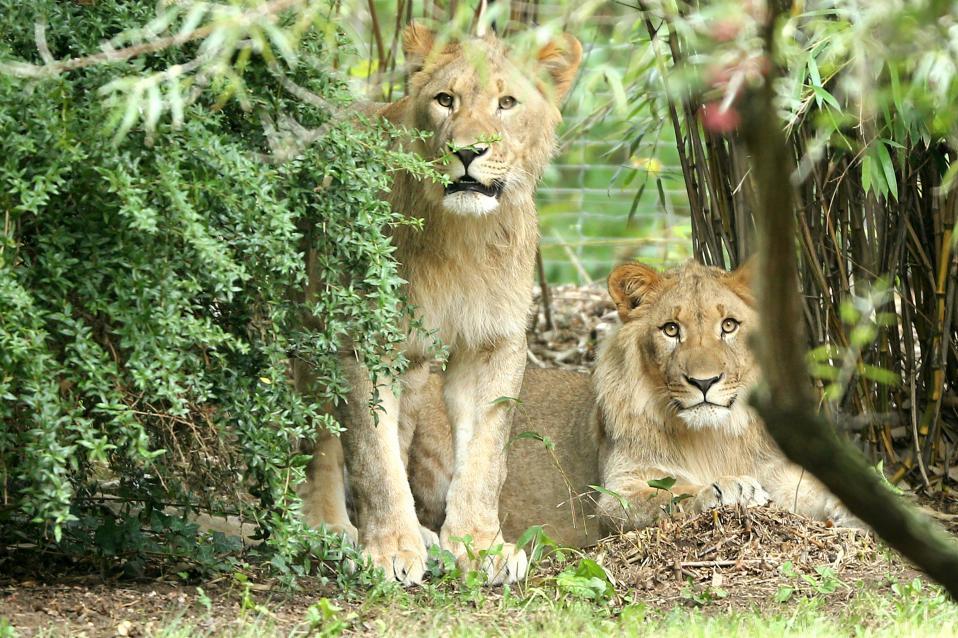 Πού πας λιονταράκι; Ο Motshegetsi και ο Majo ποζάρουν στον φωτογραφικό φακό, παλαιότερα, το κλουβί τους σε ζωολογικό κήπο της Λειψίας. Οι υπεύθυνοι του κήπου αναγκάστηκαν να σκοτώσουν το ένα από τα δύο, τα οποία είχαν καταφέρει να δραπετεύσουν από το κλουβί τους, καθώς  δεν κατάφεραν να το ναρκώσουν.  Jan Woitas/dpa via AP
