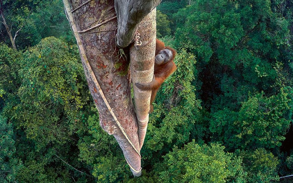 TIM LAMAN, ΗΠΑ (Φωτογραφία: Tim Laman/Wildlife Photographer of the Year)