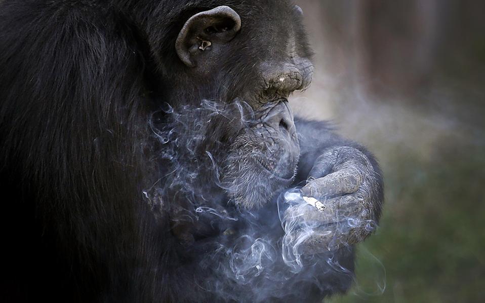 Φουγάρο. Ένα πακέτο τσιγάρα την ημέρα καπνίζει η Azalea, η χιπατζίνα του ανακαινισμένου ζωολογικού κήπου της  Pyongyang. Τι και αν οι υπεύθυνοι λένε ότι  το ζώο δεν εισπνέει τον καπνό; Η αλήθεια είναι ότι της δίνουν ένα πακέτο τσιγάρα, αναπτήρα, αν και η εξάρτησή της  είναι τέτοια που πολλές φορές ανάβει το ένα τσιγάρο με το άλλο. AP Photo/Wong Maye-E