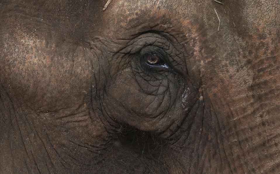 Η συνταξιοδότηση της Μaia. Έχοντας δουλέψει μια ολόκληρη ζωή σε τσίρκο, κάνοντας ένα σωρό παραστάσεις, ήρθε η ώρα για την ελεφαντίνα να ξεκουραστεί. Έτσι η Maia βρέθηκε στο κέντρο ελεφάντων, το πρώτο του είδους του στην Λατινική Αμερική, στην Chapada dos Guimaraes της Βραζιλίας, όπου υπό παρακολούθηση κτηνιάτρων θα περάσει το υπόλοιπο της ζωής της, περιδιαβαίνοντας τους χαμηλούς λόφους και τα ρυάκια της περιοχής. AP Photo/Eraldo Peres