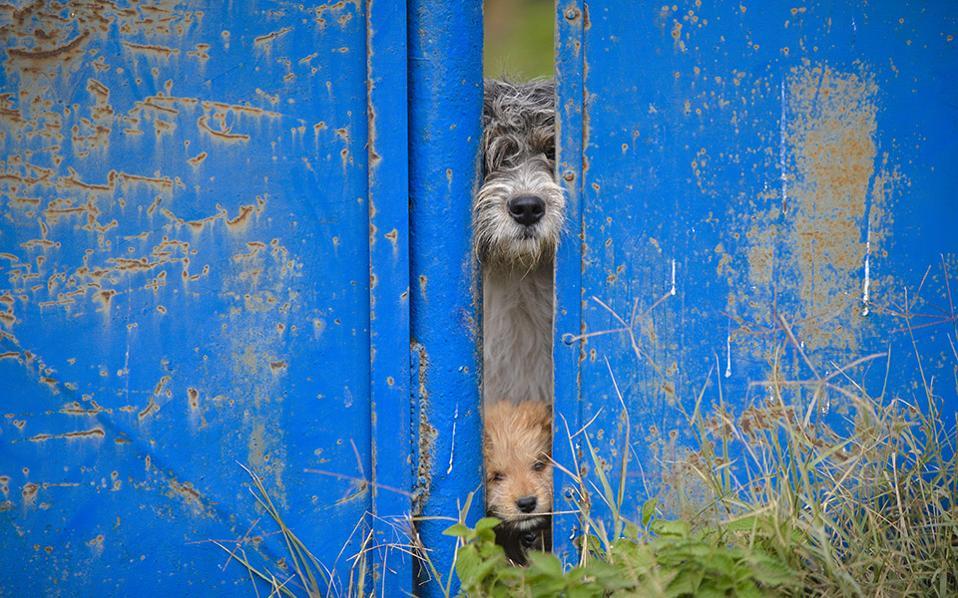 Αλήτες. Μια ματιά σε μια χαραμάδα ρίχνουν δυο αδέσποτοι σκύλοι, ένας μεγάλος και ένα κουτάβι. Σύμφωνα με τις αρμόδιες αρχές το ποσοστό τους έχει ανέβει στις 60 χιλιάδες, μόνο στην περιοχή του Βουκουρεστίου, γεγονός που θα τις αναγκάσει να λάβουν μέτρα για τον περιορισμό του πληθυσμού τους. Οποιος, όμως, έχει επενδύσει σε αυτή την υπέροχη ράτσα των δρόμων, ξέρει ότι έχει να κάνει με τους πιο έξυπνους και πιστούς φίλους που μπορεί να βρει ένας άνθρωπος. (AP Photo/Andreea Alexandru)