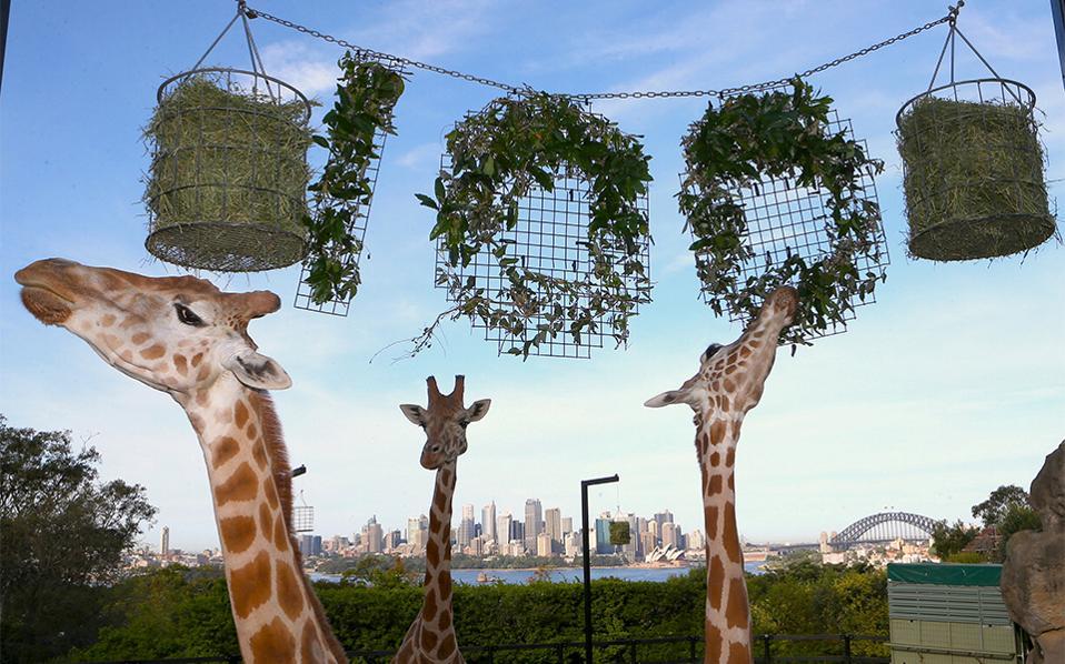Υψηλοί στόχοι. Τα 100 χρόνια συμπλήρωσε ο ζωολογικός κήπος Taronga του Sydney. Για να το γιορτάσουν, κέρασαν τα ζώα-τους πρωταγωνιστές-μια λιχουδιά, με τις καμηλοπαρδάλεις να κερδίζουν τα φώτα της δημοσιότητας καθώς μασουλούσαν το κέρασμά τους.  REUTERS/Rick Stevens