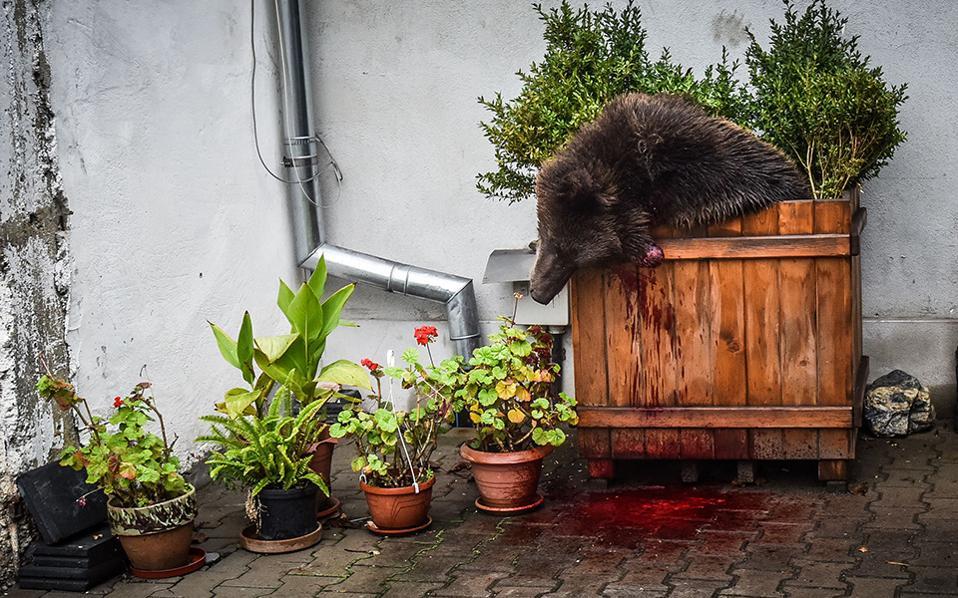 Θανατηφόρα βόλτα. Μέσα σε μια γλάστρα κατέληξε το κουφάρι μιας καφέ αρκούδας, βάρους τουλάχιστον 160 κιλών. Οι κάτοικοι του Sibiu (ήταν πολιτιστική πρωτεύουσα της Ευρώπης για το 2007) την είχαν δει να κάνει βόλτες από το πρωί στην άκρη της πόλης, μάλλον ψάχνοντας για φαγητό. Όταν την είδαν να έχει το θάρρος να φτάσει και μέχρι την κεντρική πλατεία, τότε ο θάνατός της θεωρήθηκε επιβεβλημένος.  AFP / Silvana ARMAT
