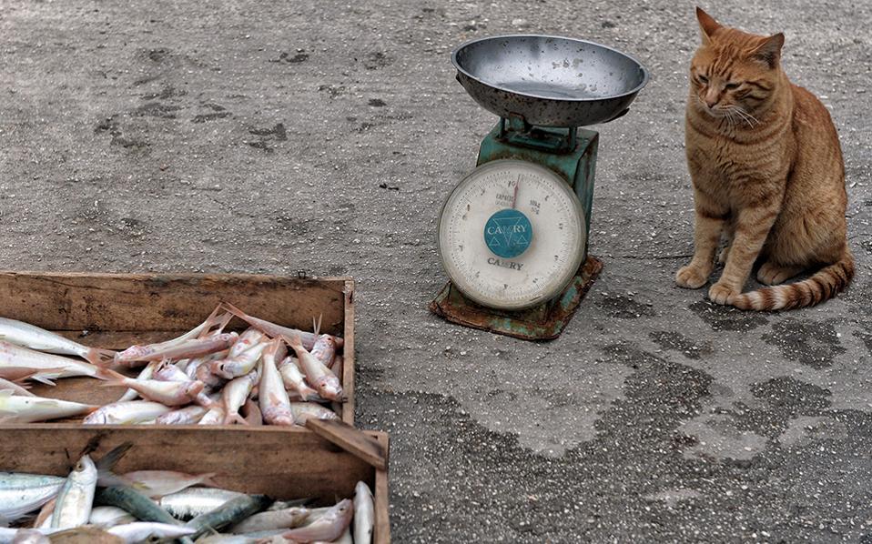 Η «αγία» της Κορίνθου. Τα λιμπίζεται. Είναι σίγουρο ότι το μόνο που σκέφτεται είναι να ορμήσει στα καφάσια και να φύγει μακριά με ένα λαχταριστό ψαράκι ανάμεσα στα δόντια της. Ξέρει όμως, ότι ο ψαράς, εκεί στο λιμάνι της Κορίνθου,  κάποια στιγμή θα την ανταμείψει. Όσο και να ζυγίσει στην σκουριασμένη ζυγαριά, όσο και να πουλήσει, κάτι θα μείνει για εκείνη. Έτσι, αντί να χαλάσει την σχέση με το «αφεντικό» της ικανοποιώντας τώρα την επιθυμία της, αυτή η κυρία αποφάσισε να περιμένει. ΑΠΕ-ΜΠΕ/ ΨΩΜΑΣ ΒΑΣΙΛΗΣ