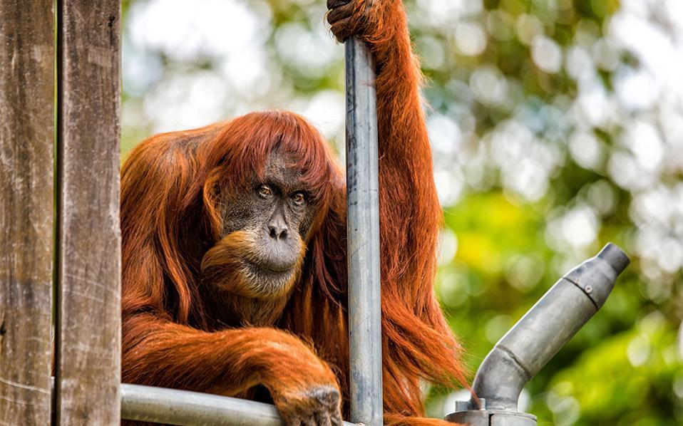 Αιχμάλωτη γριούλα. Απαθής κοιτά τον φακό η Puan στην κατοικία της, τον ζωολογικό κήπο του Perth. Η Puan είναι 60 ετών και  είναι η γηραιότερη ουρακοτάγκος του κόσμου.  Perth Zoo/Alex Asbury/Handout via REUTERS
