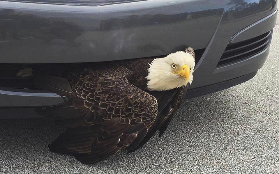 Λαθρεπιβάτης. Κανείς δεν ξέρει πώς ο αετός, σύμβολο των ΗΠΑ, βρέθηκε κολλημένος στον προφυλακτήρα αυτοκινήτου στο Green Cove Springs της Φλόριντα. Ούτε ο ίδιος οδηγός το πήρε χαμπάρι, παρά σταμάτησε έπειτα από σήματα μοτοσικλετιστή που παρατήρησε το παγιδευμένο πουλί. Όπως και να έχει, το πουλί απελευθερώθηκε και ο οδηγός του αυτοκινήτου θα έχει να λέει μια σπουδαία ιστορία. Billi West/Clay County Sheriff's Office via AP