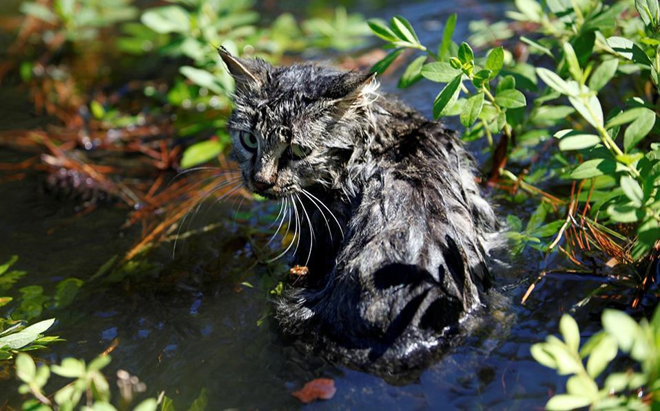 Βρεγμένη γάτα. Μουσκεμένη και τσαντισμένη μέχρι το κόκαλο είναι η γάτα της φωτογραφίας. Χωρίς κανένα κομμάτι στεγνού εδάφους σε απόσταση εκατοντάδων μέτρων εξαιτίας του τυφώνα Matthew, η καημένη η γάτα περίμενε υπομονετικά τα σωστικά συνεργεία να την μαζέψουν, όπως και έκαναν, στο Nichols της Νότιας Καρολίνας. REUTERS/Randall Hill