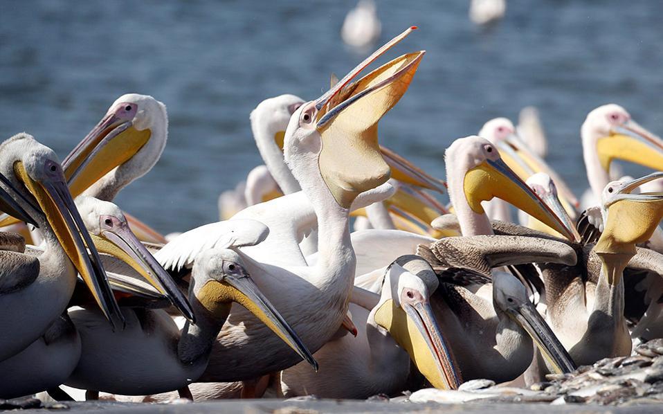 Κέρασμα. Μια στάση στο ταξίδι τους έχουν κάνει οι μεγάλοι λευκοί πελεκάνοι της φωτογραφίας στο Mishmar Hasharon του Ισραήλ. Εκεί, το κράτος έχει μεριμνήσει και υπάλληλοι των πάρκων και των ζωολογικών κήπων είχαν ένα καλό κέρασμα με εκατοντάδες ψάρια για τα κατάκοπα πουλιά.  REUTERS/Baz Ratner