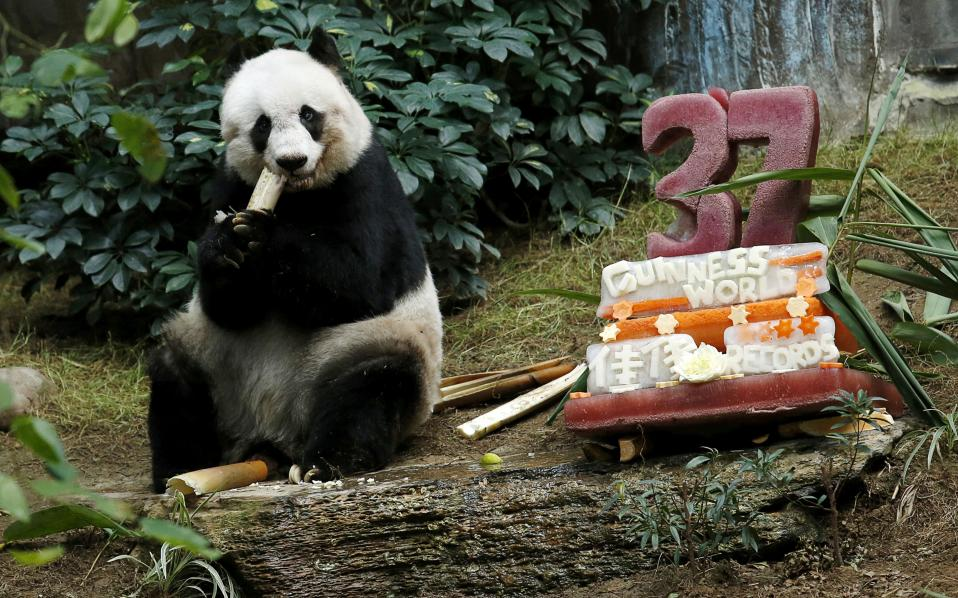 giant-panda-
