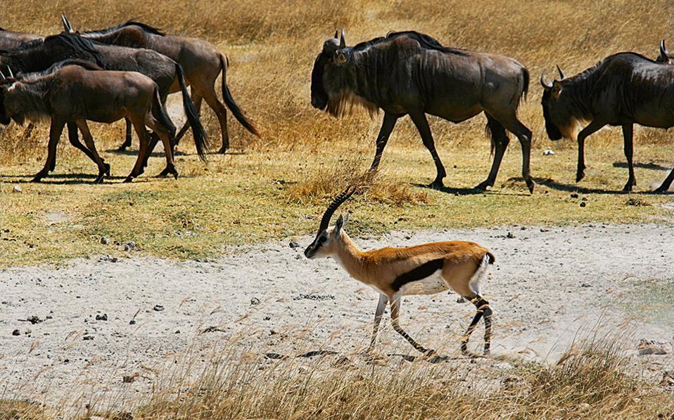 Στο Ngorongoro θα δείτε χιλιάδες ζώα όλες τις εποχές του χρόνου. (Φωτογραφία: ΚΩΣΤΑΣ ΤΑΜΠΟΥΡΑΚΗΣ, ΙΝΕΣ ΣΑΛΤΙΕΛ)