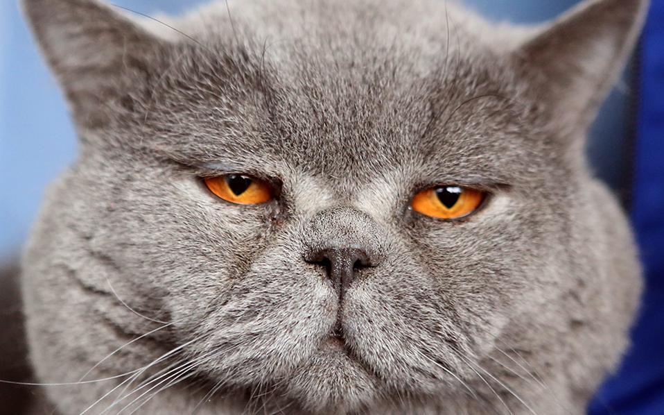 Κο-μμά-τια! Νυσταλέος και πανέμορφος, ένας Βρετανικός κοντότριχος ποζάρει αδιάφορα για τον φακό. Στην ετήσια έκθεση για τις γάτες που διοργανώθηκε στο Bishkek συγκεντρώθηκαν λάτρεις της γάτας τόσο από το Kyrgyzstan όσο και από το Kazakhstan. EPA/IGOR KOVALENKO