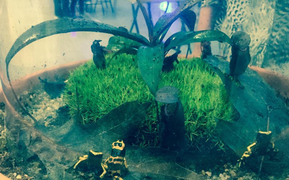 Oι κίτρινοι δενδροβάτραχοι της Aμερικής τριγυρίζουν αμέριμνοι στον γυάλινο «κήπο» τους.