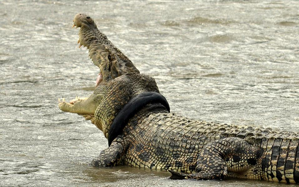 Κολιέ. Από τον Σεπτέμβρη έχουν εντοπίσει οι αρχές τον «στολισμένο» κροκόδειλο σε ποταμό στο  Palu της κεντρικής Ινδονησίας. Το λάστιχο από την μοτοσικλέτα είναι άγνωστο πώς βρέθηκε στον λαιμό του, όμως ακόμα χειρότερη είναι η είδηση ότι οι αρχές αδυνατούν να το αφαιρέσουν καθώς δεν έχουν ούτε τον ελάχιστο εξοπλισμό για αυτήν την δουλειά. Antara Foto/Mohamad Hamzah/via REUTERS