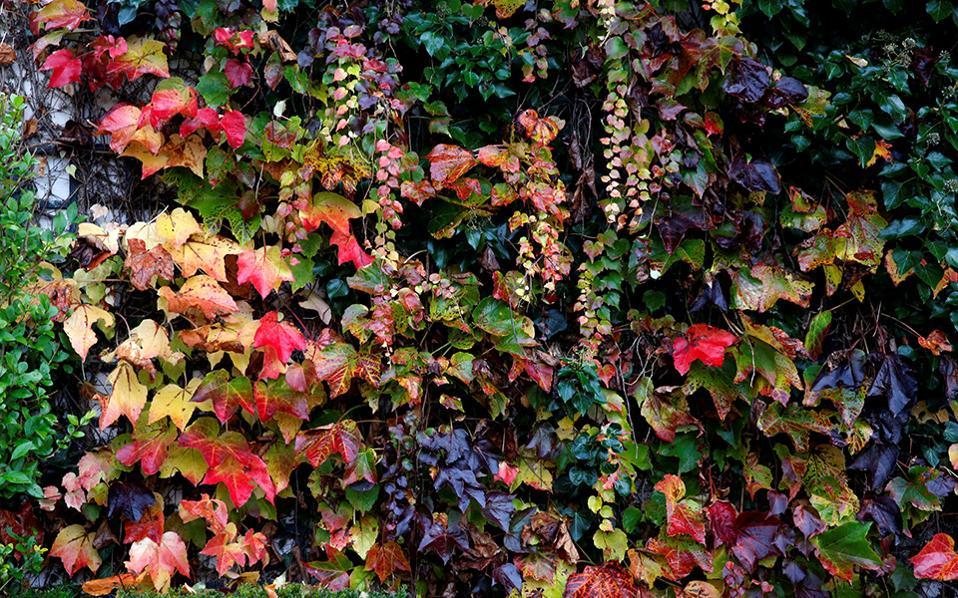Κόντρα. Αν και η άνοιξη φημίζεται για τα χρώματά  της, όταν τα φρέσκα πράσινα φύλλα καλημερίζουν το φως, αναθεωρήστε. Όπως όταν το πράσινο ωριμάζει και γίνεται κόκκινο, μπορντό ή κίτρινο. Η φωτογραφία είναι από έναν στολισμένο τοίχο στην Ginerny της Γαλλίας. REUTERS/Jacky Naegelen