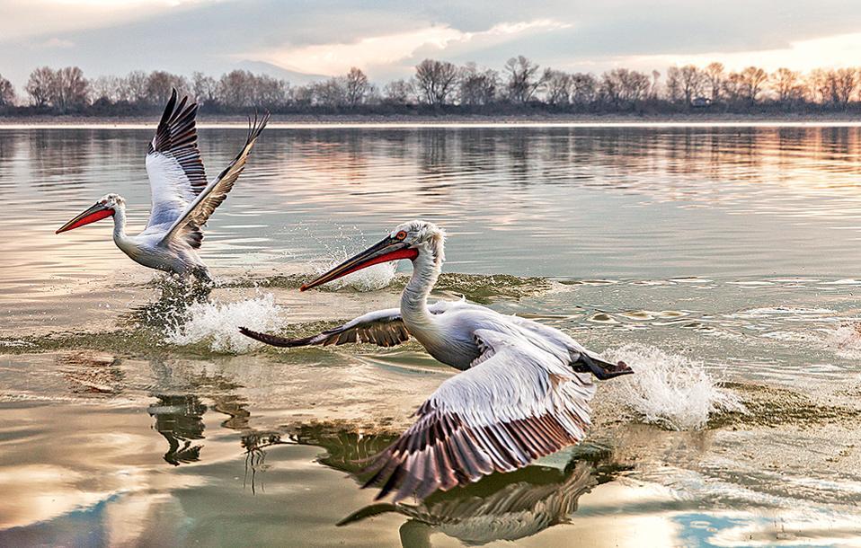 Η Λίμνη Κερκίνη, σε απόσταση περίπου 10 χλμ., συγκεντρώνει πολλά είδη πουλιών, όπως αργυροπελεκάνους. (Φωτογραφία: ΔΗΜΗΤΡΗΣ ΒΛΑΪΚΟΣ)