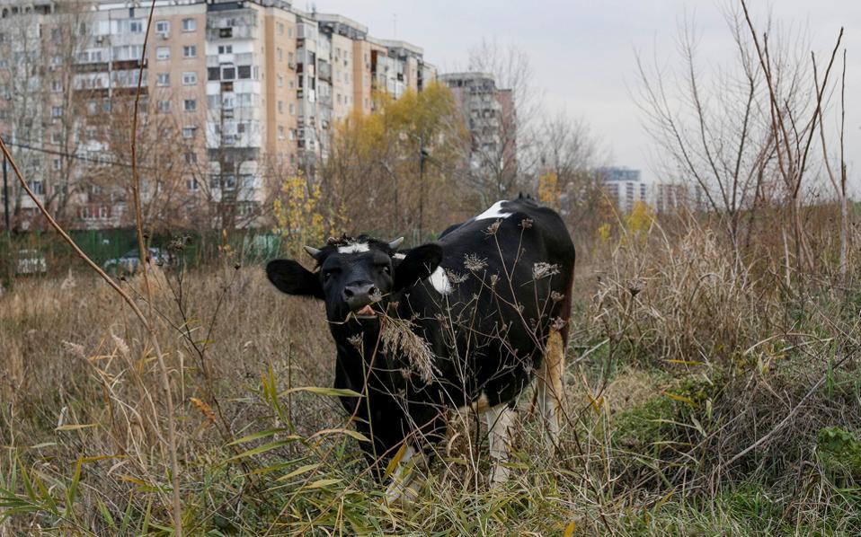 Μια αγελάδα βόσκει κοντά σε κτίρια της κομμουνιστικής εποχής, στην πρωτεύουσα της Ρουμανίας, Βουκουρέστι.