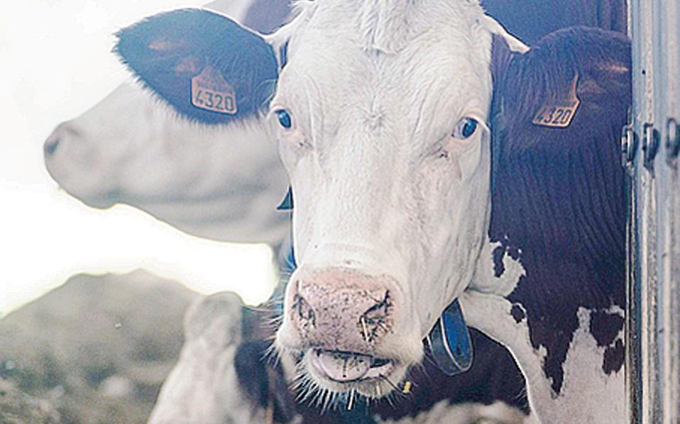 Οι αγελάδες συμβάλλουν στην αύξηση του μεθανίου στην ατμόσφαιρα.