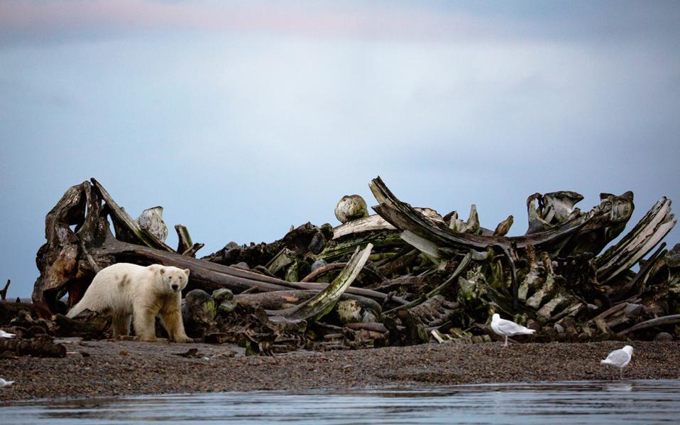Μια πολική αρκούδα κάνει τη βόλτα της κοντά σε οστά φαλαινών, στο χωριό Κακτόβικ στον αρκτικό κύκλο.