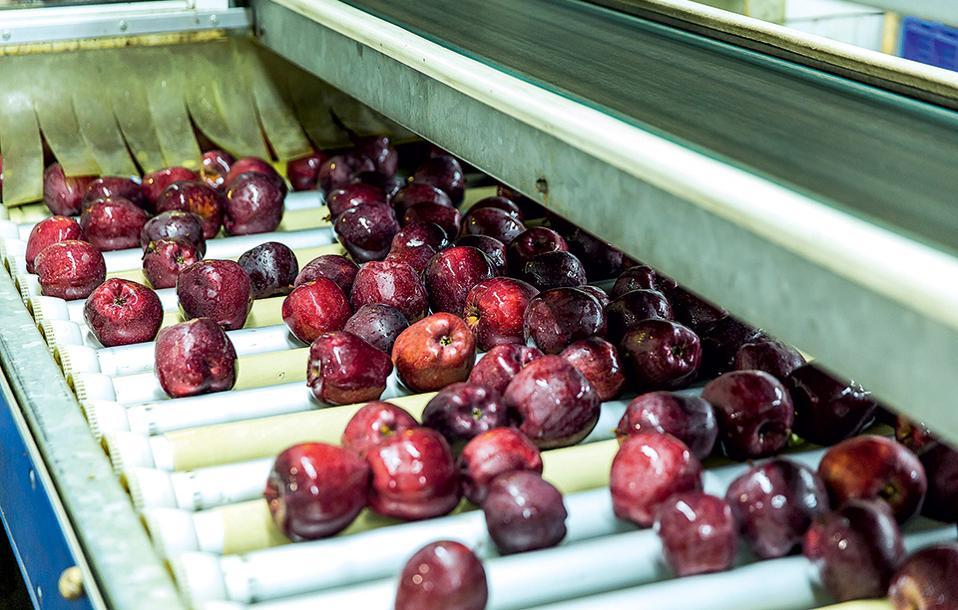 Τα μήλα Ζαγορίν στη διαλογή. (Φωτογραφία: ΔΗΜΗΤΡΗΣ ΒΛΑΪΚΟΣ)