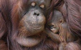 Μανούλα. Στα 35 της χρόνια γέννησε η Sophia μια πανέμορφη κόρη. Οι δυο τους έκαναν το ντεμπούτο τους για το κοινό με τρυφερές αγκαλιές και ντροπές στο Brookfield Zoo του Σικάγο. (Jim Schulz/Chicago Zoological Society via AP)