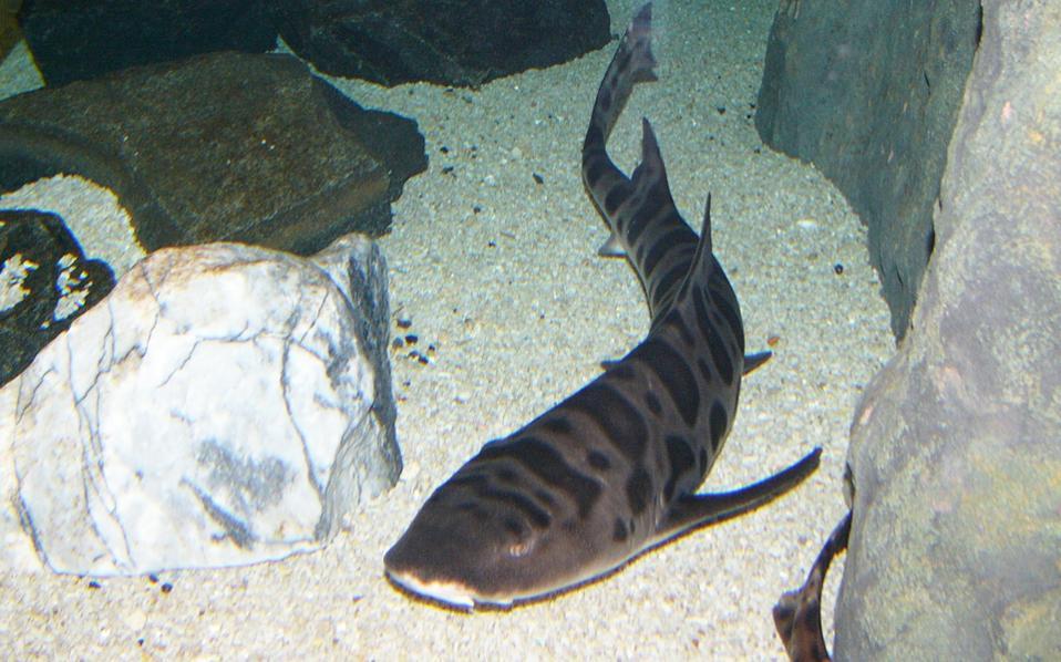 Καρχαρίας - λεοπάρδαλη σε ενυδρείο της Αυστραλίας. Το είδος χαρακτηρίζεται απειλούμενο, ενώ η διαπίστωση της επιστημονικής ομάδας του Κουίνσλαντ ίσως προσφέρει λύση για την επιβίωσή τους.