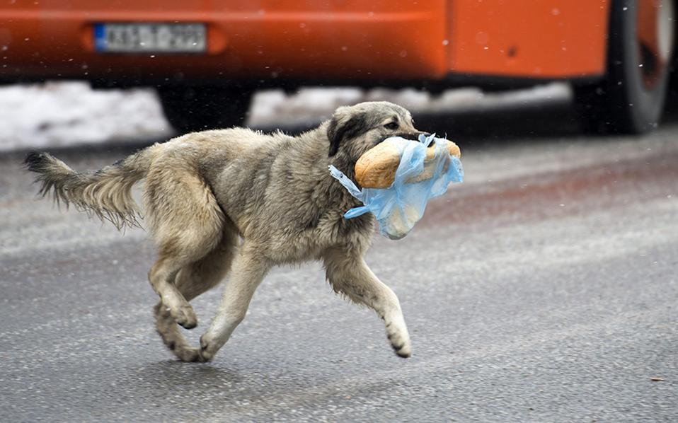 Πείνα και κρύο 1. Δεν άντεξε ο σκύλος της φωτογραφίας τα παράπονα της άδειας κοιλιάς του και έγινε κλέφτης. Βούτηξε το ψωμί και εξαφανίστηκε στους δρόμους του Kicebo της ΠΓΔΜ, για να το φάει με την ησυχία του. Το θερμόμετρο στην γειτονική χώρα είναι κολλημένο στο μηδέν εδώ και αρκετές εβδομάδες.  EPA/GEORGI LICOVSKI