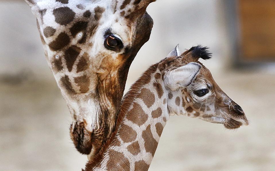 Και άλλα γεννητούρια. Μαζί με την μαμά της Katharina έκανε την εμφάνισή της η μόλις τριών ημερών Kimara στο κοινό, στον Οpel zoo της Γερμανίας. (AP Photo/Michael Probst)