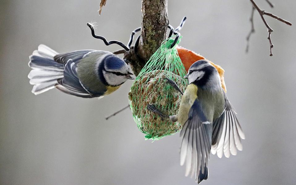 Πείνα και κρύο 2. Το γνωρίζουν στις χώρες που το χιόνι είναι συχνό το χειμώνα, ότι οι άνθρωποι  πρέπει να φροντίζουν τα μικρά ζώα και τα πουλιά. Ετσι, στον  κήπο στο  Au am Rhein οι δυο φιλοξενούμενοι απολαμβάνουν το κέρασμα του οικοδεσπότη τους, καθώς η θερμοκρασία είναι υπό το μηδέν.  EPA/RONALD WITTEK