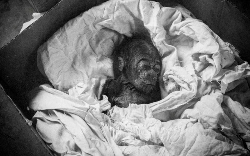 Γεννημένος αιχμάλωτος. Σαν σήμερα γεννήθηκε ο Colo πριν από 60 ολόκληρα χρόνια. Στα γενέθλια που του έκαναν σήμερα στο Columbus Zoo του Οχάιο, γιόρτασαν το γεγονός ότι είναι και επισήμως ο γηραιότερος γορίλας που έχει γεννηθεί σε αιχμαλωσία. Με  θλίψη φυσικά, γιατί   δυστυχώς παραμένει σε αυτήν. Columbus Zoo and Aquarium/Handout via REUTERS