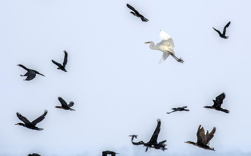 Πείνα. Πάγωσε εδώ και πέντε ημέρες η λίμνη της Δοϊράνης με τα πουλιά να δυσκολεύονται να βρουν τροφή και να κουρνιάζουν  το ένα κοντά στο άλλο για να ζεσταθούν. Στους -20 βαθμούς Κελσίου μέτρησαν την θερμοκρασία  στην γειτονική FYROM, με το πολικό κύμα κακοκαιρίας να έχει χτυπήσει εδώ και μια εβδομάδα την χώρα.  EPA/GEORGI LICOVSKI