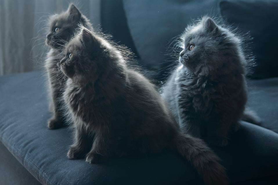 Παγκόσμια ημέρα γάτας. Ναι, υπάρχει και αυτή και γιορτάζεται με χάδια και νιαουρίσματα. Λατρεμένες οι γάτες για όσους αγαπούν την ανεξάρτητη φύση τους, τα γουργουρίσματά τους και την λατρεία τους για χάδια. Στην φωτογραφία γκρίζες μακρύτριχες βρετανικές κούκλες σε σπίτι στην Πολωνία.  EPA/WOJCIECH PACEWICZ