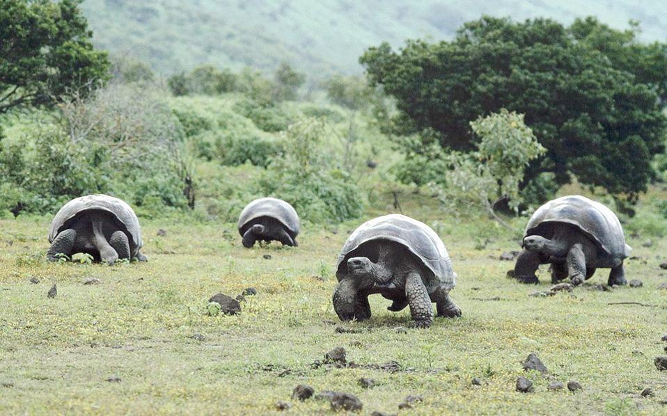 Oι χελώνες των νησιών Γκαλάμπαγκος τις οποίες είχε μελετήσει ο Κάρολος Δαρβίνος στο περίφημο ταξίδι του με το «Μπιγκλ».
