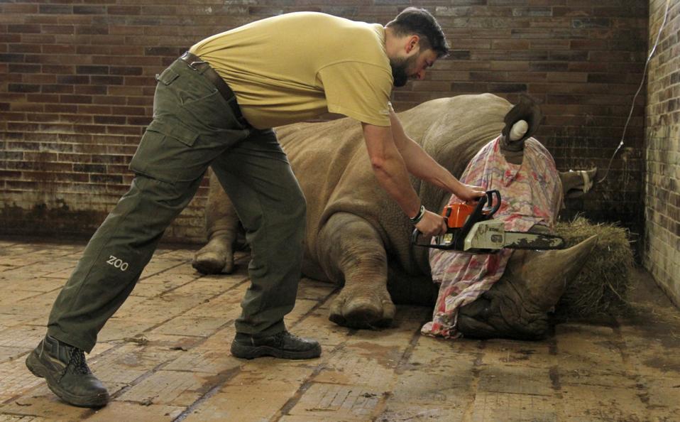 Ακρωτηριασμός για πρόληψη. Με αλυσοπρίονο ο υπάλληλος του ζωολογικού κήπου Dvur Kralove της Τσεχίας, κόβει το κέρατο του αναίσθητου ζώου. Οι ρινόκεροι κυνηγιούνται αλύπητα για το κέρατό τους, πολύτιμο για παραδοσιακά γιατροσόφια, τόσο στην φύση αλλά και στους ζωολογικούς κήπους, καθώς δολοφονούνται και μέσα σε αυτούς (όπως συνέβη στον Thoiry της Γαλλίας). Ετσι αναγκάζονται οι υπεύθυνοι να  καταφύγουν  σε ακραία μέτρα για την προστασία των σπάνιων ζώων. Simona Jirickova/Zoo Dvur Kralove via AP)