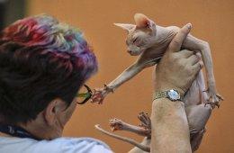 Μπρρ... Υπάρχουν φανατικοί των σκύλων και των γάτων. Μάλιστα κάποιοι καταφεύγουν και σε ακραία παραδείγματα  κάθε είδους, όπως η γάτα Sphinx της φωτογραφίας. Η εικονιζόμενη συμμετείχε στο pet show που έλαβε χώρα στο Βουκουρέστι, με εξαιρετικά δείγματα ράτσας από 1.500 σκύλους και 150 γάτες από 12 διαφορετικές χώρες. (AP Photo/Vadim Ghirda)
