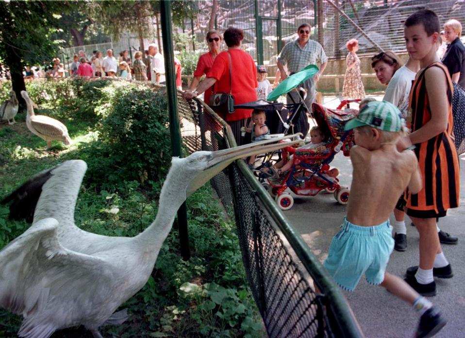 Χωρίς πελεκάνους. Αδειο είναι πια το κλουβί των πελεκάνων στον ζωολογικό κήπο του Schoenbrunn στην Αυστρία. Οι 20 πελεκάνοι- ένας εκ των οποίων εικονίζεται σε παλαιότερη φωτογραφία- μολύνθηκαν με την γρίπη των πτηνών. REUTERS/Stringer/File Photo